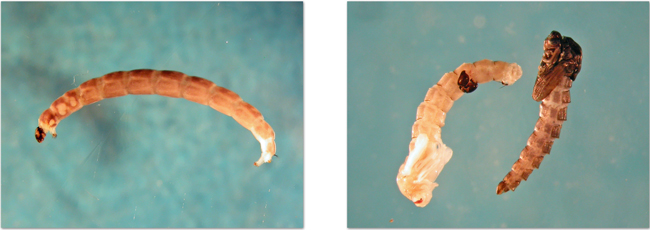 Left; chironomid (non-biting midge) larvae. These larvae are common in freshwaters or organic soils on Svalbard, especially if the soils are moist. Right; chironomid pupae.