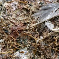 Surface of the habitat of <i>H. borealis</i>.  Dead moss with added dead kittiwake, kittiwake vomit, kittiwake faeces and fox faeces. The smell has to be experienced to believe.