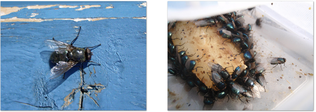 Left, Spyflue <i>Protophormia terraenovae</I> on a house in Longyearbyen. Right, With the correct bait this spyflue can be caught in large numbers !  Baited Malaise trap behind UNIS. July 2009.