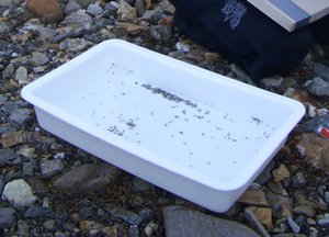 Contents of trap, largely non-biting midges.