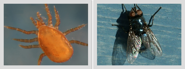 Juvenile mite, left <i>Thinoseius spinosus</I> (deutonymph) found attached to adult fly, right <i>Protophormia terraenovae</I>. The young of this species of mite attach themselves to a fly host so as to be travel to new areas.