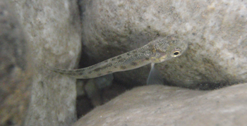 A chief enemy of the freshwater invertebrate fauna, the Arctic charr. Linnevatn